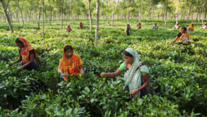 Several women are spread throughout a Teatulia tea garden and are picking leaves.