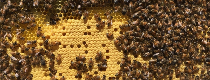 A close-up shot of a bee colony on a honeycomb.