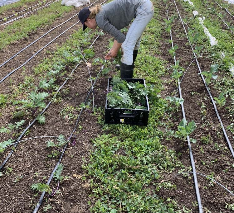 A person crouches over rows of a vegetable garden, harvesting.
