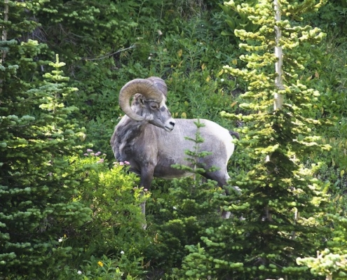 A Bighorn Sheep standing majestically in front of greenery.